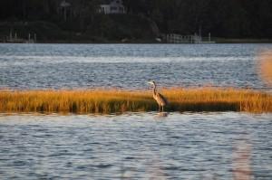 Heron at Bass River, Dennis