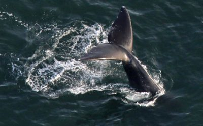 Tail fluke of diving whale