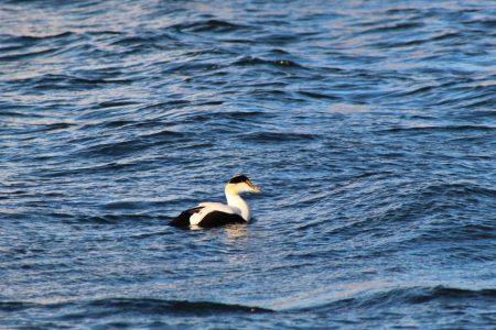 Seabird on the ocean, Dennis, Cape Cod